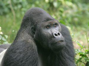 Biodiversité alter disparition des animaux sauvages - gorille en illustration